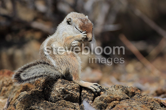 Harris's Antelope Squirrel making his toilet Mexico (Harris' Antelope Squirrel)