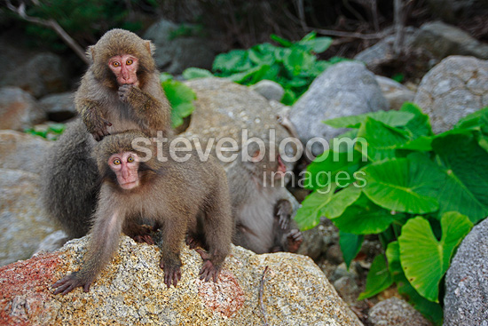 Japanese Macaques (nicknamed