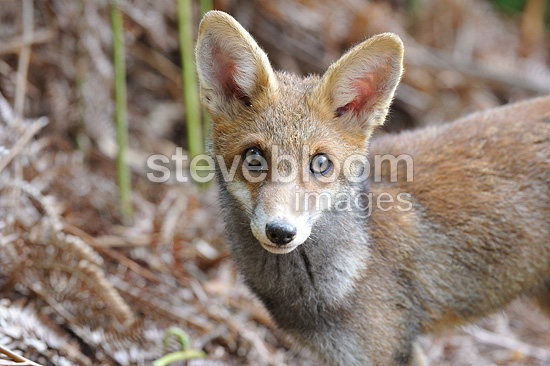 Portrait of a five-month-old Red fox cub in summer (Red fox)