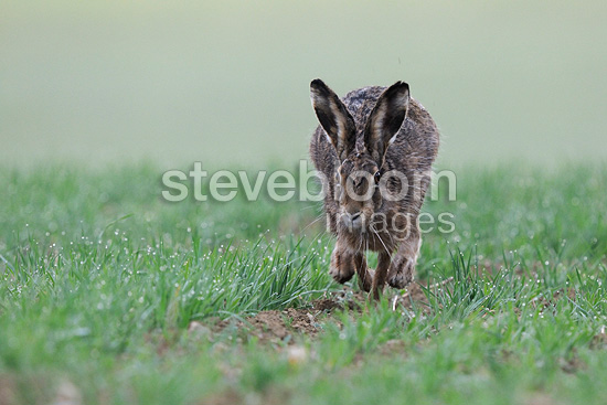European Hare running in a field Vosges France (European Hare )