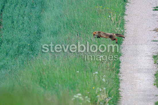 Red Fox in edge of field muloting in the Vosges France (Red fox)