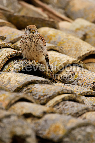Female Lesser kestrel on a roof, Spain