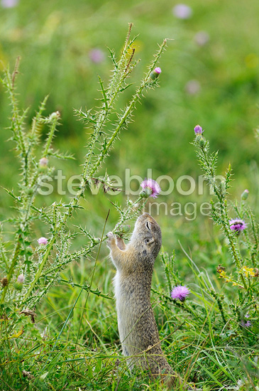European ground squirrel eating a thistle flower Serbia (European ground squirrel )