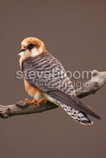 Female Red-footed falcon on a branch (Red-footed Falcon)