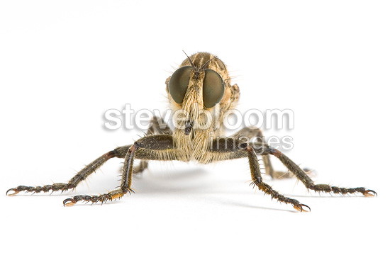 Robber fly in studio on white background