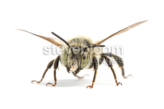 Leaf-cutting bee in studio on white background