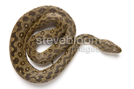 Viperine Snake in studio on white background