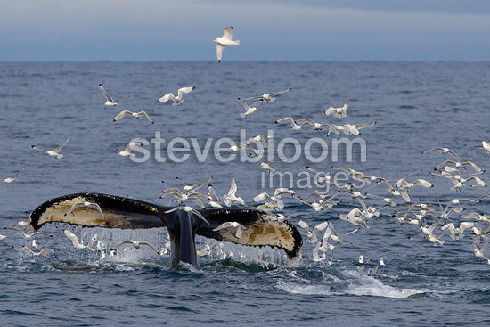 Humpback whale and Black-legged Kittiwake Spitsbergen (Humpback whale)