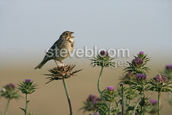 Corn bunting singing on a thistle Spain (Corn bunting)
