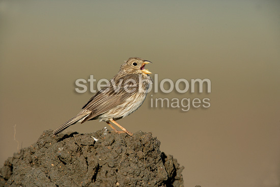 Corn bunting singing on dry mud Spain (Corn bunting)