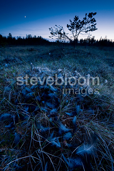 Plucked from Black Grouse in a peat bog PN Hamra Sweden� (Black grouse)
