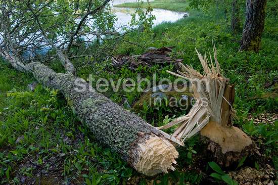 Tree felled by a beaver PN F�rnebofj�rden Sweden (European beaver)