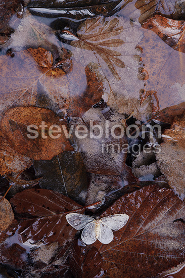Butterfly drowned on leaves Pyrenees France