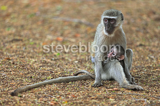 Grivet Monkey female nursing her young in the Kruger NP RSA (Green monkey )