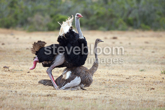 Coupling of two ostriches in the Addo Elephant NP RSA (Ostrich)