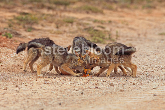 Black-backed Jackal competing around an Ostrich egg RSA (Back-backed jackal)