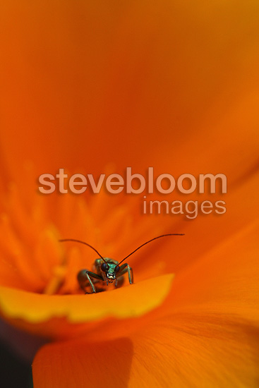 Thick-legged Flower Beetle feeding on pollen in a Californian Poppy, France