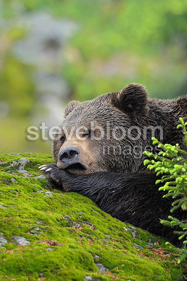 Relaxed European brown bear, Bavarian Forest NP, Germany