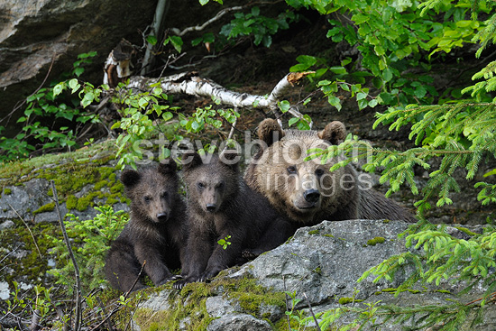 European brown bear female and cubs, Bavarian Forest NP, Germany