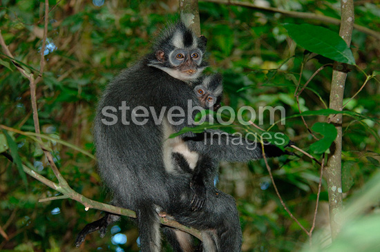 Thomas's langur female and young in Gunung Leuser NP (Thomas's langur)