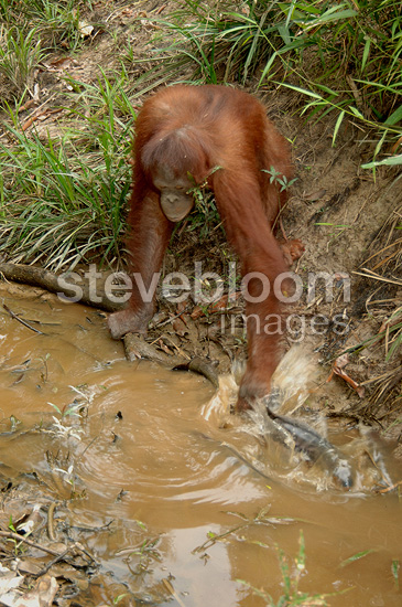 Orangutan catching fish with hand Central Borneo (Orangutan)