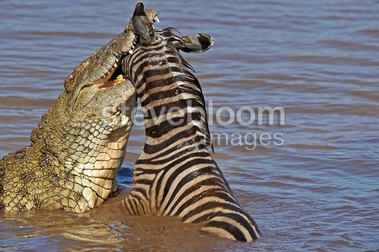 Crocodile attacking a young Zebra in the river Mara (Nile Crocodile; Burchell's zebra )