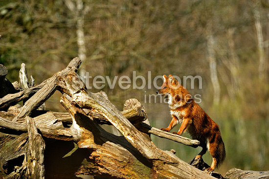 Asiatic Wild Dog alert on logs (Asiatic wild dog )