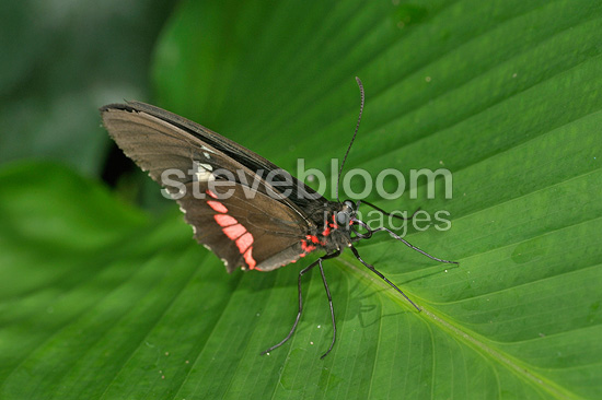 Heliconius butterfly on a leaf Costa Rica