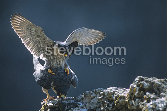 Mating of Peregrine Falcon in Loue valley France (Peregrine Falcon)