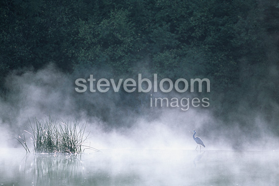 Grey Heron walking on a small dam on the river Doubs (Grey Heron)
