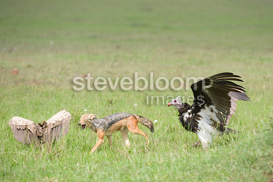 Black-backed jackal and White-headed vulture, Masai Mara, Kenya