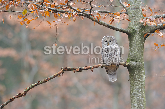 Ural owl perched on a beech tree in autumn Germany (Ural Owl)