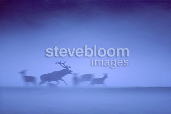 Red deer charging a young male in the evening mist France (Red deer)