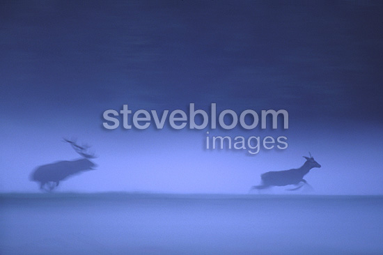 Red deer charging a young male in the evening�mist France (Red deer)