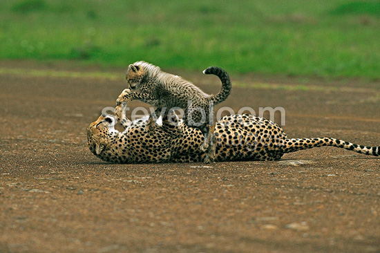 Cheetah playing with her young on a runway Kenya Masai Mara� (Cheetah)
