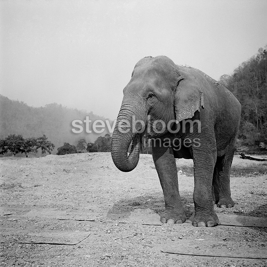 Asian elephant's trunk into the mouth Thailand (Asian elephant)