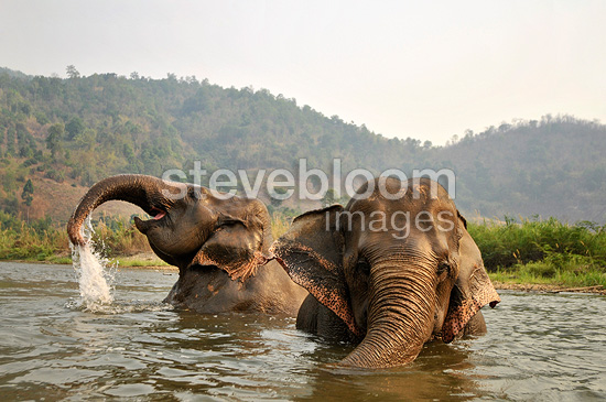 Asian Elephants bathing in a river Thailand (Asian elephant)