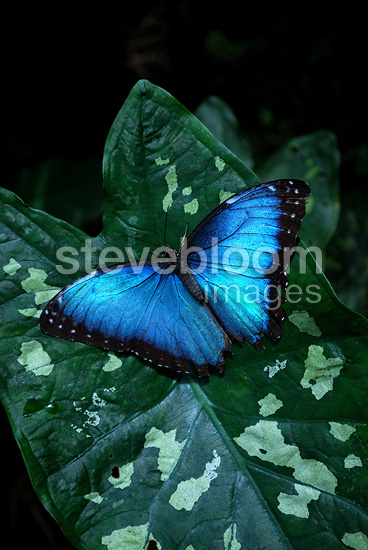 Blue Morpho on leaf in Costa Rica