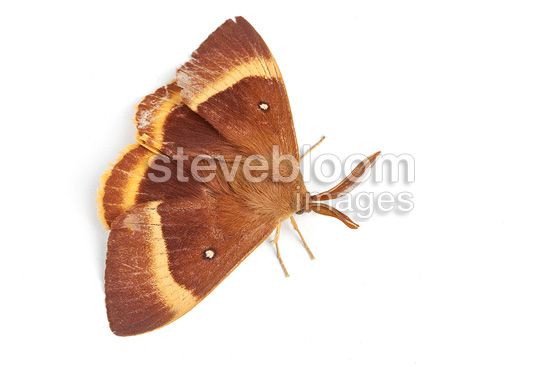Drinker Moth on white background