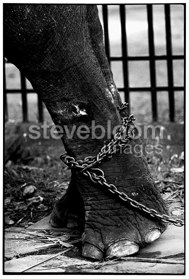 An injured foot Asian Elephant in Thailand (Asian elephant)
