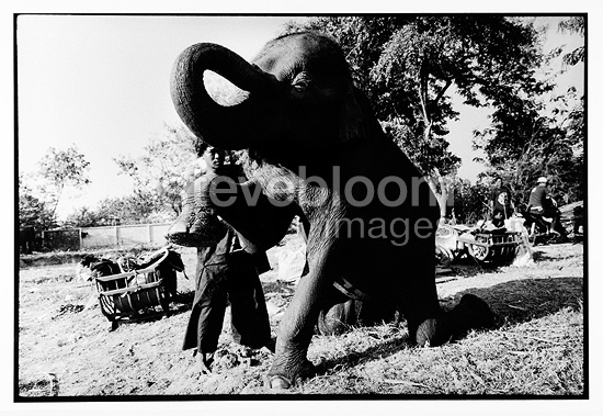 Mahout making the toilet of his Asian Elephant Thailand (Asian elephant)