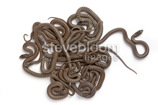 Montpellier snake babies on white background