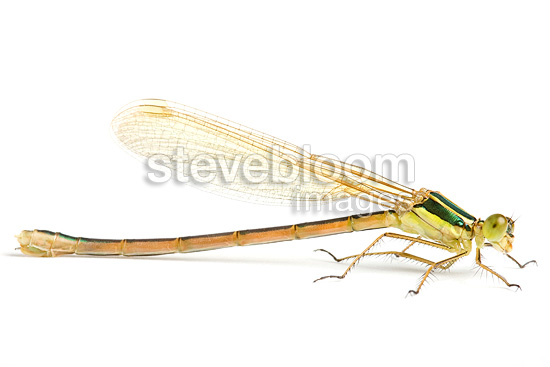Small Emerald Damselfly female on white background