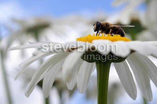 Drone-fly on a Daisy Bocage Bourbonnais France
