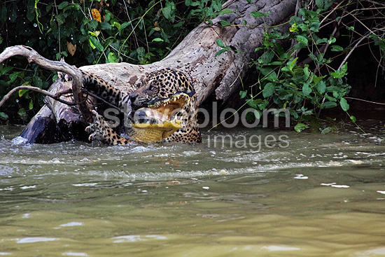 Jaguar killing & dragging a Caiman against a strong current (Jaguar; Common caiman)