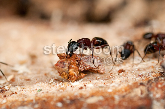 Carpenter Ants in its colony Livradois Forez RNP France
