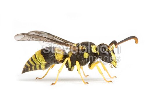 Potter wasp male on white background (wasp)