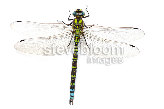 Azure Hawker on white background