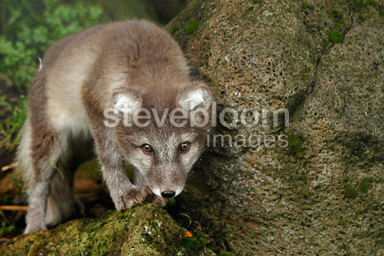 Young Arctic Fox of the Year in Iceland (Arctic fox)