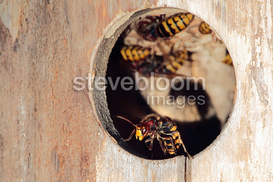 Hornet nest in a birdhouse Starling in France in summer